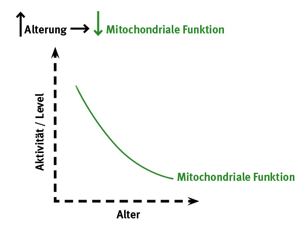 Mitochondriale Funktion